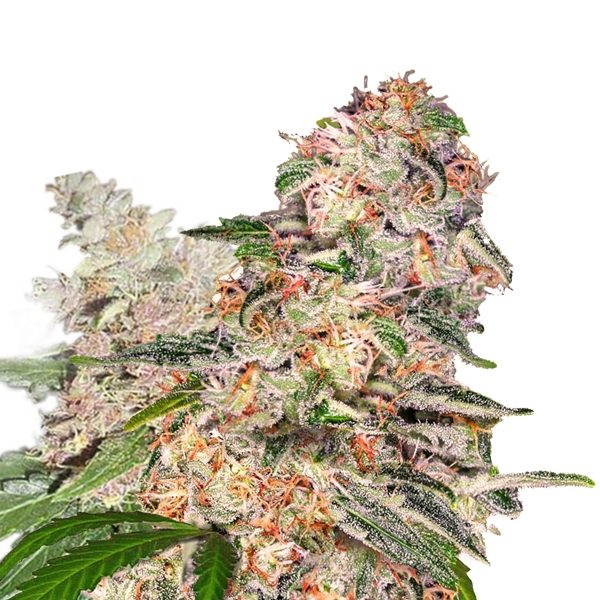 BLUE DREAM XTRM ® FEMINIZED